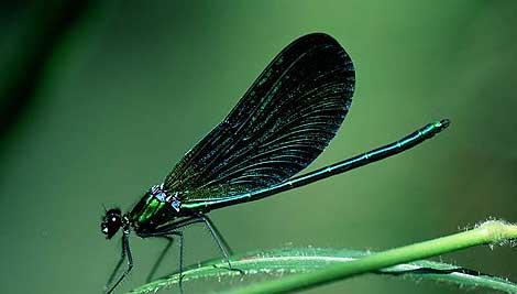 Caballito del diablo azul sobre una hoja. | Javier Ara Cajal.