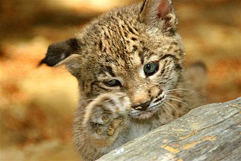 Una de las crías de lince ibérico nacida en cautividad en Andalucía.