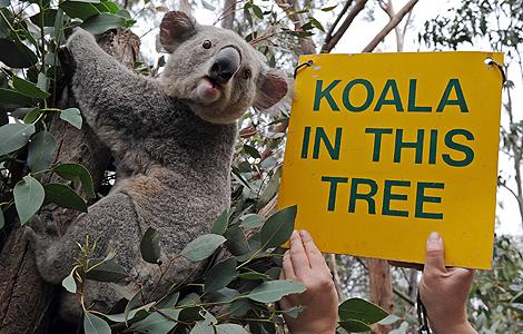 Un koala australiano, en el zoo Taronga Western Plains, cerca de Dubbo. | AFP