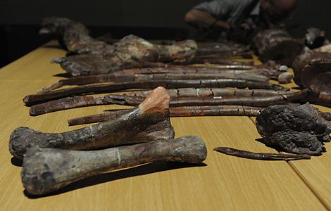 Restos fósiles del dinosaurio hallado en Sudáfrica. | AFP