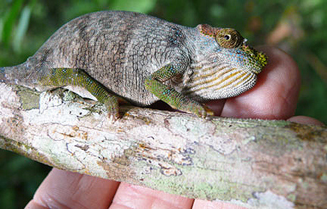 La nueva especie de camaleón descubierta. | Foto: Andrew Marshall | African Journal