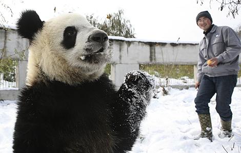 Un oso panda en la reserva de Zhouzhi, en China. | AP
