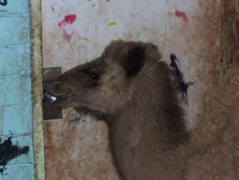 Un camello trata de abrir una puerta en la localidad de McdonnellShire. | AP Photo.