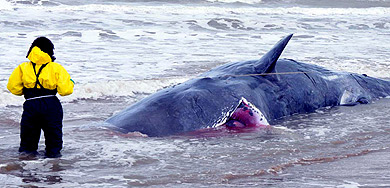Una experta mide una de las ballenas varadas. | Efe