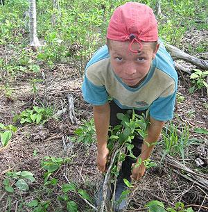 Un niño jornalero dedicado a raspar hojas de coca. la Gabarra, Norte de santander. SH-M