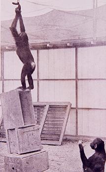 Los chimpancés, durante un experimento.