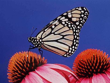 Un ejemplar de mariposa monarca, otra especie en peligro. | Index Stock Photography
