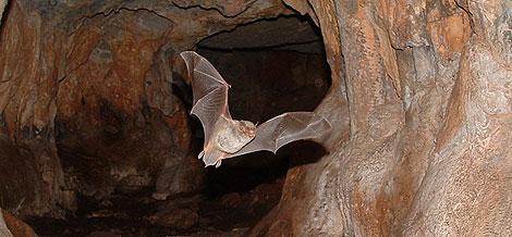 Un ejemplar de murciélago saliendo de su refugio. / CRVIT