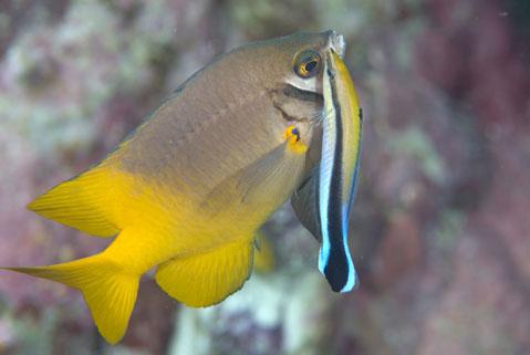 Un pez 'L. dimidiatus' limpia de parásitos a su'cliente'.|Science