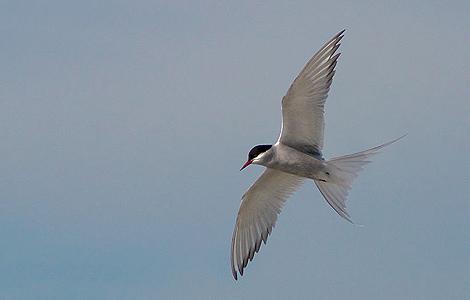Un ave de la especie 'Sterna paradisaea' sobrevuela el océano.   Foto: Malene Thyssen