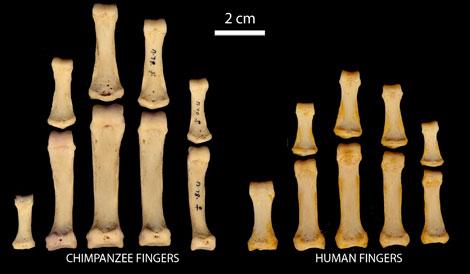 Comparativa de los dedos de chimpancé y humanos. |C. Rolian