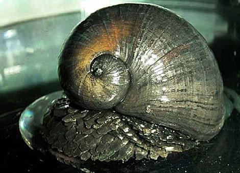 Un caracol de la especie 'Crysomallon squamiferum'. | Foto: PNAS