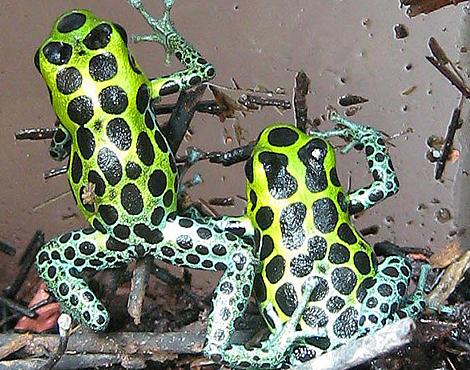 Dos ejemplares de 'Ranitomeya variabilis'. | M. Khadavi
