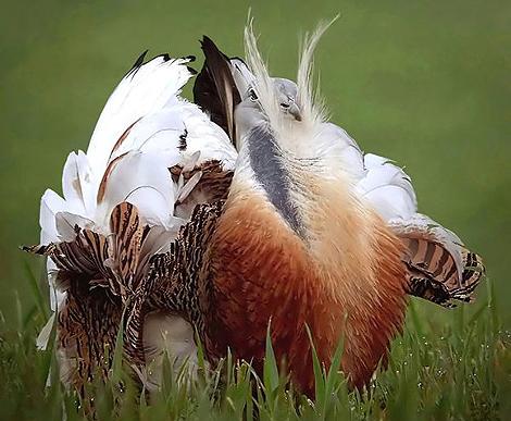 Un macho de avutarda durante su ritual de cortejo. | Fotos: Carlos Palacín