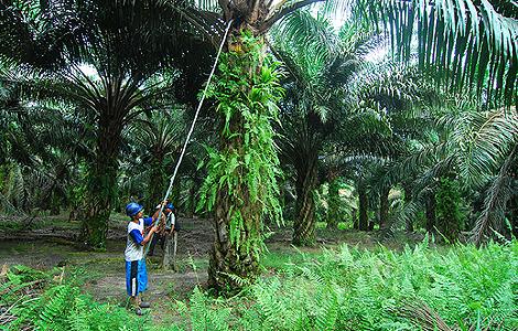 Una plantación de palma de aceite en Indonesia. | Fotos: AFP