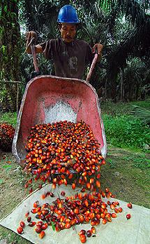 El fruto de la palma de aceite.