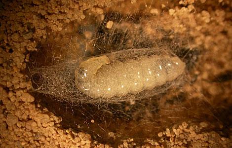 Una 'Philanthus' incorpora las bacterias al capullo de sus larvas. Efe/Instituto Max Planck
