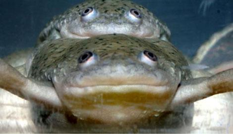 Un ejemplar macho y un macho feminizado de rana copulan durante el experimento de laboratorio. | PNAS