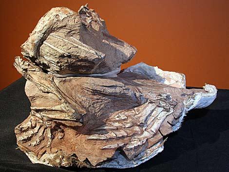 Fósil del 'Seitaad ruessi'.   Museo de Historia Natural de la Universidad de Utah