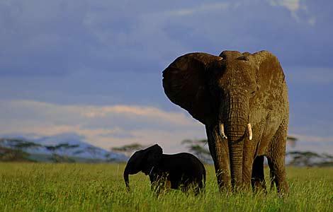 Un elefante y su cría pasean por el Parque Nacional de Serengueti, en Tanzania.   Science   Mundo