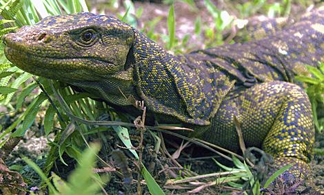 El lagarto 'Varanus bitatawa' vive al norte de la isla de Luzón. | Efe