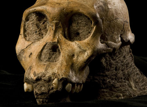 Cráneo del esqueleto del 'Australopithecus sediba' encontrado en Sudáfrica.| Science