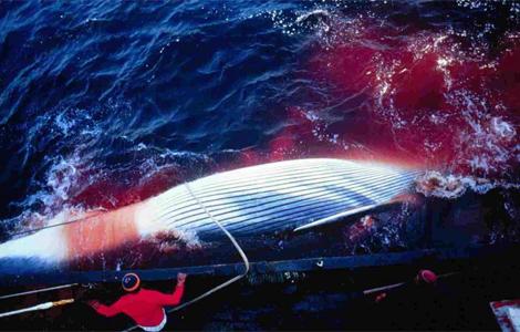 Cazadores noruegas atrapan una ballena. | David Aguilar