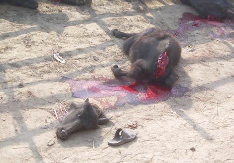 El año pasado se sacrificaron 300.000 animales en honor de la diosa Kali. | Miguel Á. Gayo