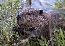Un castor.   Wikimedia