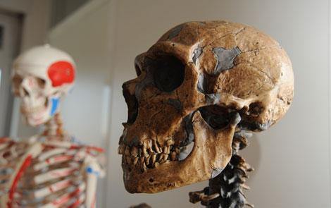 Cráneo de 'Homo neanderthalensis', en el CSIC