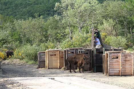 Uno de los bisontes de Palencia.   Brágimo