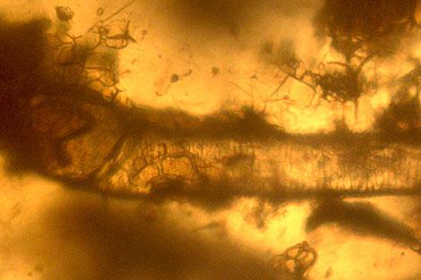 Detalle del pelo fosilizado en ámbar.  Universidad de Rennes