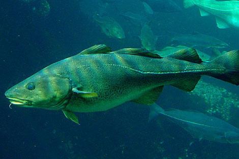 Un ejemplar de bacalao común. | El Mundo