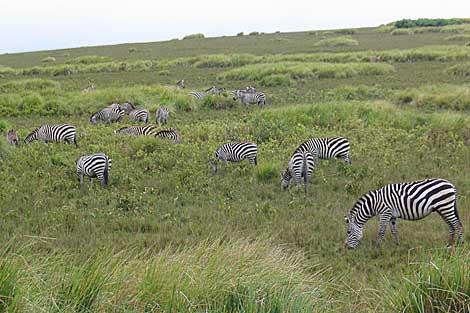 Cebras en el parque de Ngorongoro, en Tanzania.   Rosa M. Tristán.