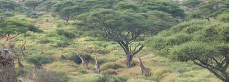 Jirafas en Ngorongoro, Tanzania.   Rosa M. Tristán
