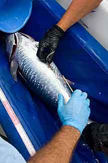 Cosen a un atún tras insertar la marca.
