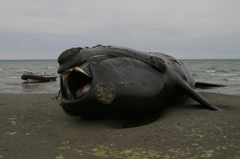 La Epidemia De Las Ballenas Varadas En La Patagonia Ciencia