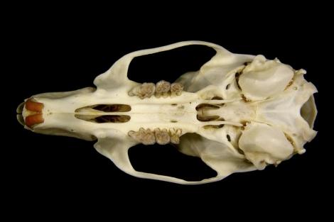Los restos óseos del roedor gigante.   Efe