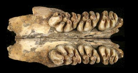 Parte inferior del cráneo de la rata gigante descubierta.   Efe