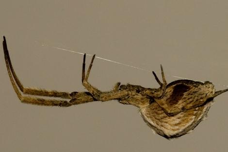 Una araña se desplaza por su tela. | G. Corcobado / BMC Evolutionary Biology