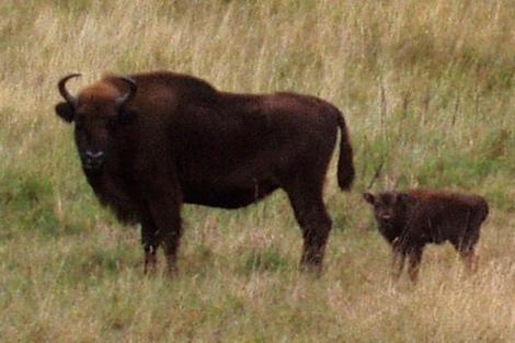 La cría ha nacido en la reserva de San Cebrián de Mudá (Palencia).| Ical