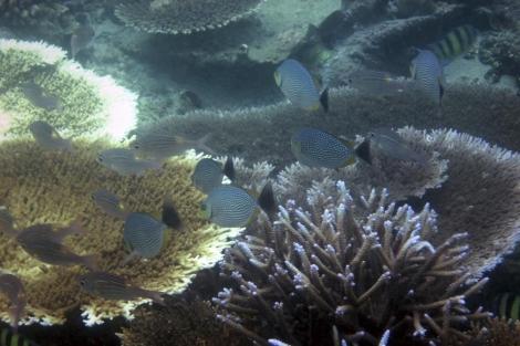 Coral blanqueado en el arrecife del norte de Sumatra.   Ap