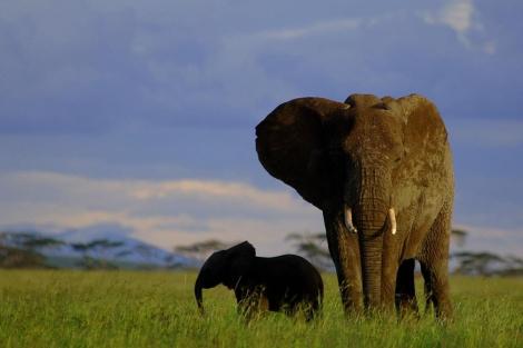 Un Elefante paseando con su cría por las llanuras del Serengueti. | El Mundo