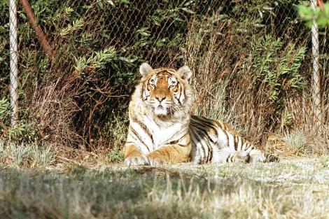 Un tigre descansa en una de las zonas del parque. | Efe