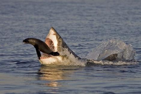 Una foca consigue zafarse de las fauces de un gran tiburón blanco.   Solent News/Chris Fallows