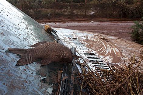 Un pez muerto sobre el parabrisas de un coche cubierto de lodo tóxico. | Efe