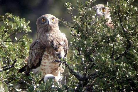 Dos ejemplares de águila culebrera avistados en las inmediaciones de Tarifa. | A. E.