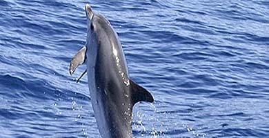 Un delfín 'anda' sobre el agua.   El Mundo