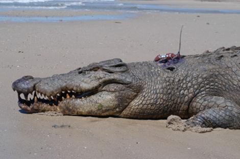 Ejemplar de Crocodylus porosus.   Australia zoo