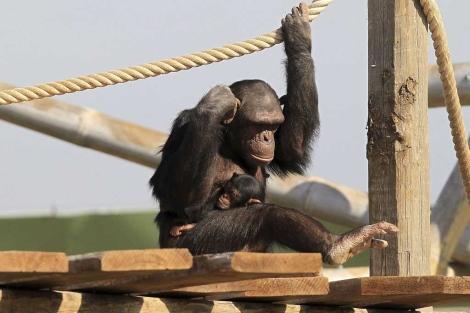 Un chimpancé con su cría. | Efe